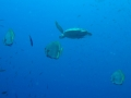 Sea Turtle and its trailing batfish