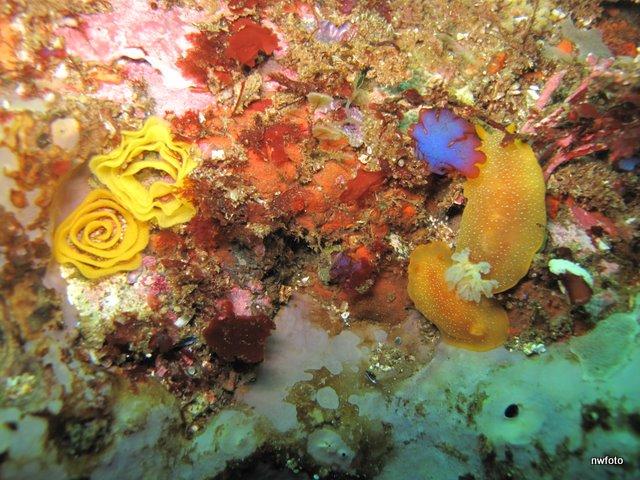 White spotted porostome (Doriopsilla albopunctata) nudibranch