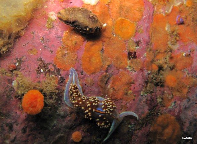 Hermissenda crassicornis nudibranch