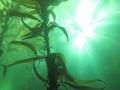 Sun through the kelp