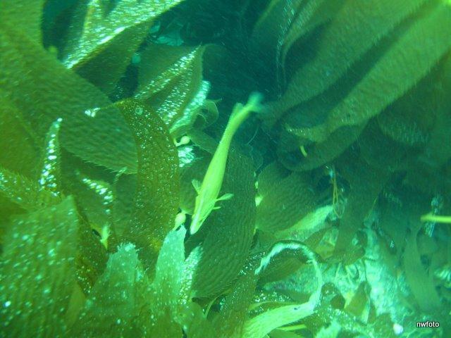 Giant kelp fish