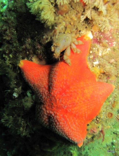 Crab on Bat Star