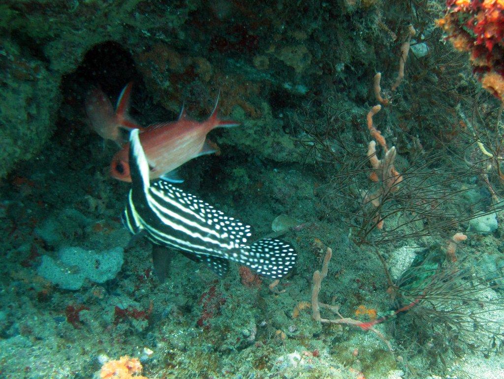 Adult Spotted Drumfish