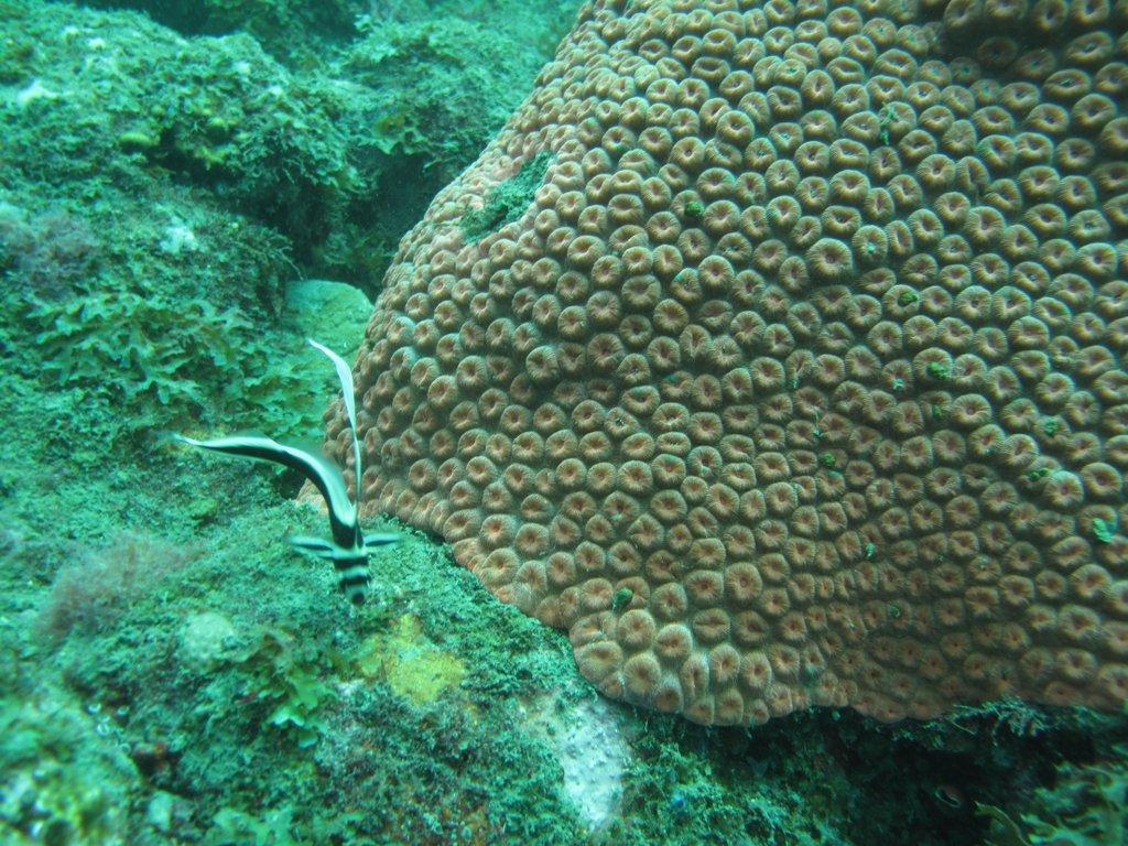 Juvenile Spotted Drum Fish