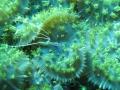 Pederson Cleaner Shrimp on Rhodactis?