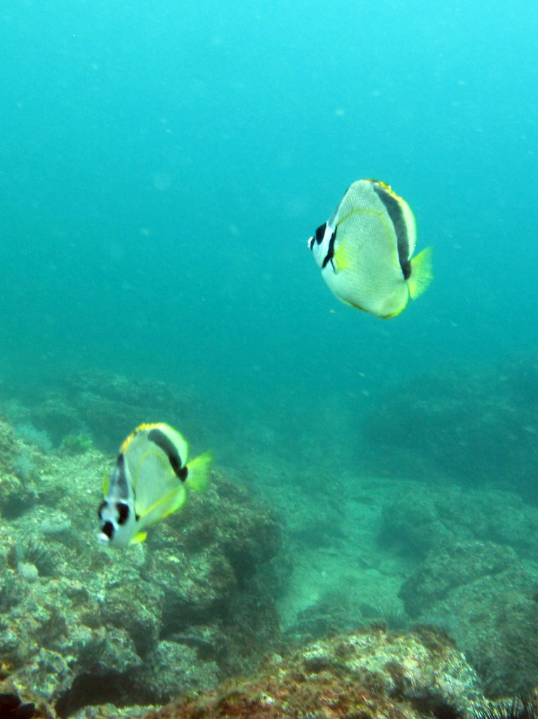 Black-nosed Butterflyfish
