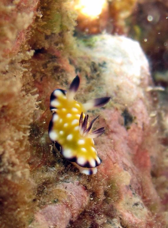 Trembling nudibranch (Goniobranchus vibratus)