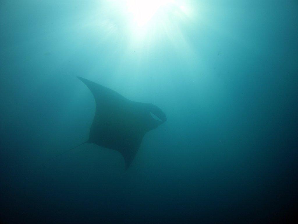 Giant Oceanic Manta Ray 14 + ft