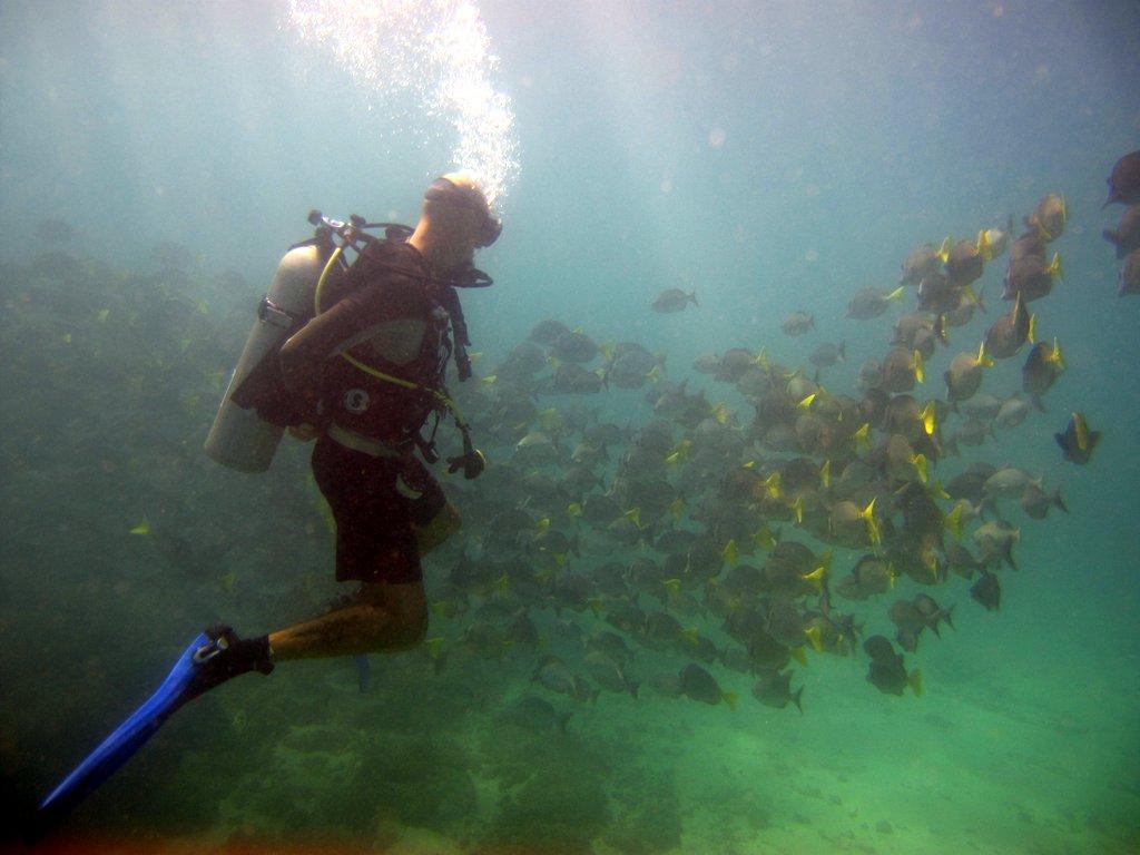 Schooling Sea Chub and Yellow-tail Surgeonfish