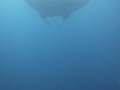 Giant Manta, swimming too fast so barely got diver's tank in bottom right of pic for perspective!