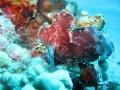 Purple Leaf Scorpionfish