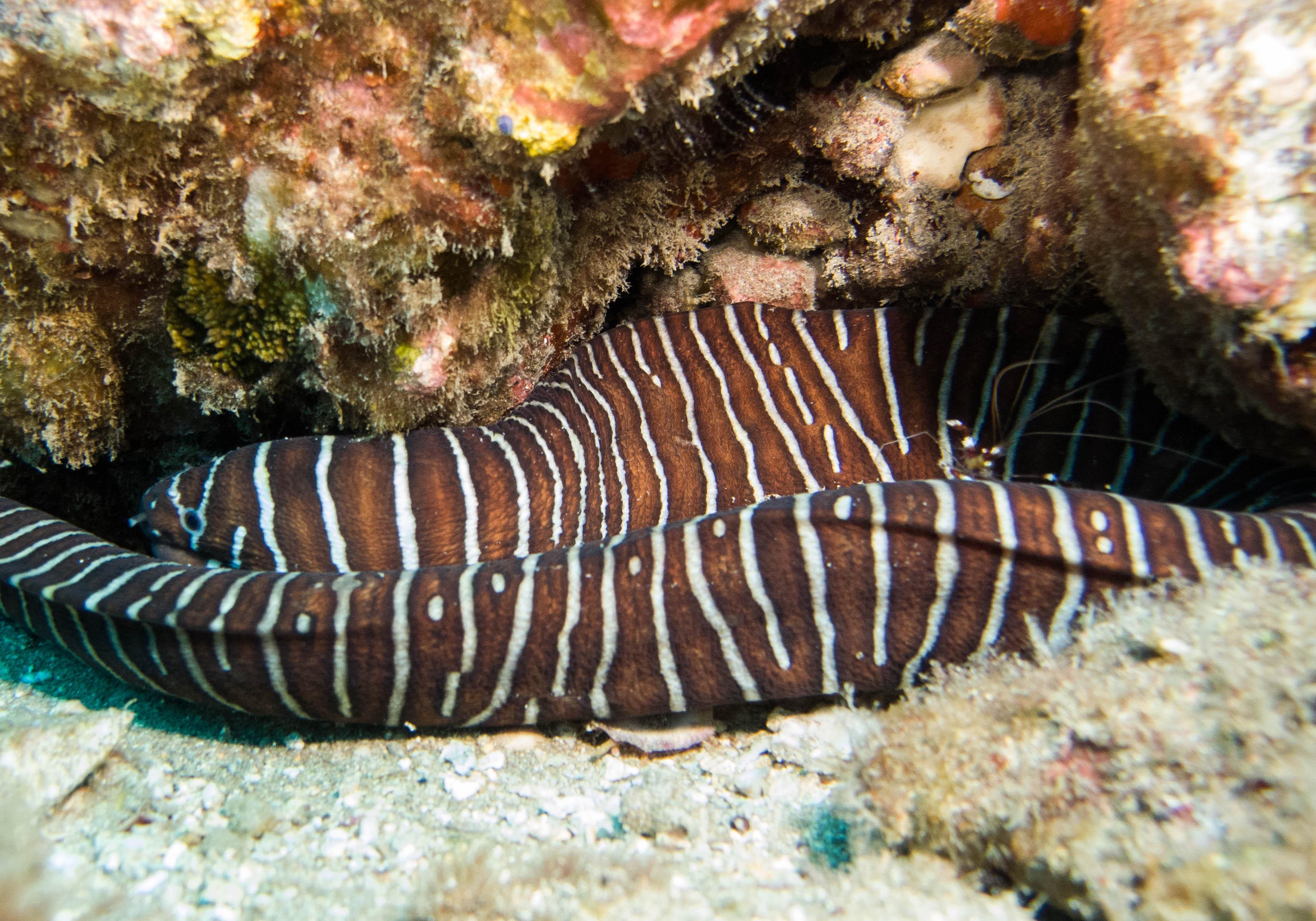 Zebra Moray Eel