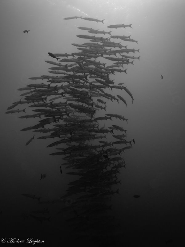 Chevron Barracuda