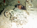 Spotted Scorpionfish?