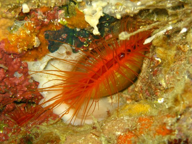 Electric Flame Clam