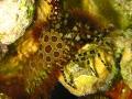 Marble or Saron Shrimp