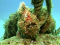 Green Giant Frogfish or maybe Warty Frogfish
