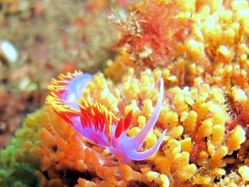 Spanish Shawl nudibranch (Flabellinopsis iodinea)