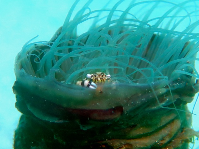 Harlequin Crab inside a tubeworm.