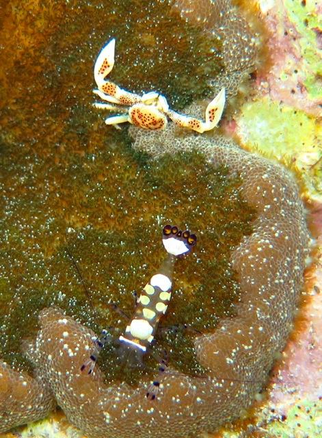Porcelain Crab and Brevicarpalis Anemone shrimp