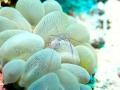 Bubble Coral Shrimp