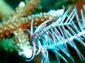 Crinoid commensal shrimp on Feather Star