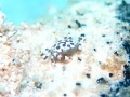 Harlequin Crab on a Sea Cucumber
