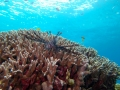 Red Lionfish out hunting