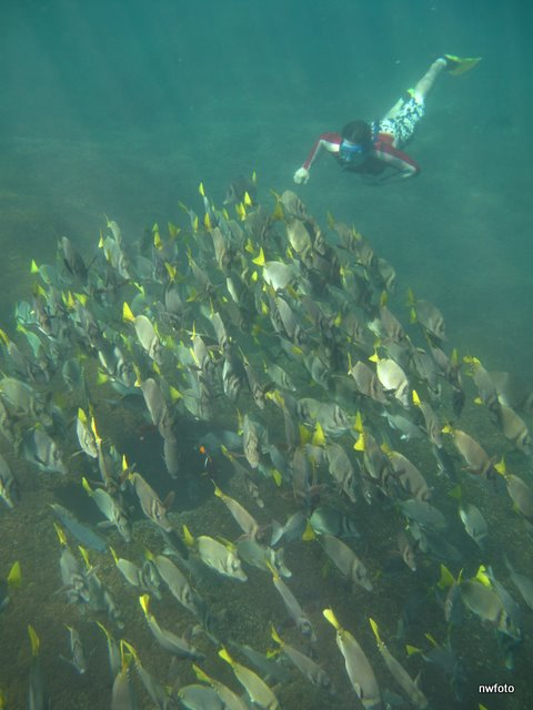 Schooling Yellow-tailed Surgeonfish