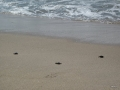 Baby Olive Ridley sea turtles